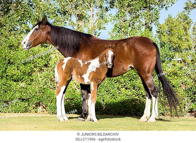 Barb Horse. Bay mare with skewbald foal standing on a lawn. Egypt