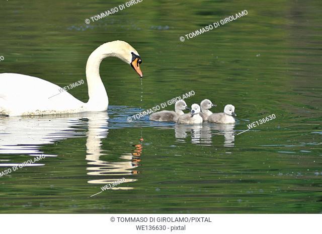 Animals, Swan, newborn Cygnus cygnus Adda River Trezzo d'Adda locality Italy