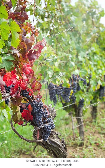 Canada, Ontario, Niagara Escarpment Wine Country, St. Catherines, vineyard, autumn