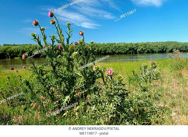 Greater Burdock Arctium lappa, Yermakov island, Ukraine, Eastern Europe