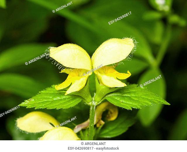 Yellow archangel or artillery plant, Lamium Galeobdolon, flowers and leaves, close-up, selective focus, shallow DOF