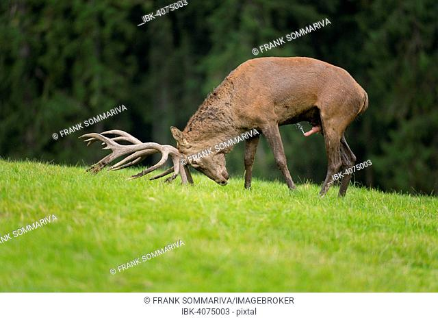 Red Deer (Cervus elaphus), stag, in the rut, excited deer pushing its antlers into the ground, captive, Lower Saxony, Germany