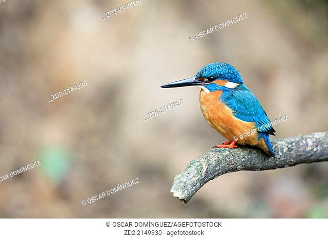 Common Kingfisher (Alcedo atthis) male, perched on branch. Barcelona province. Catalonia. Spain