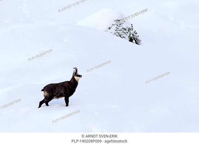 Chamois (Rupicapra rupicapra) male foraging in the snow on mountain slope in winter in the European Alps