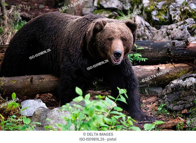 European brown bear (Ursus arctos), Markovec, Bohinj Commune, Slovenia, Europe