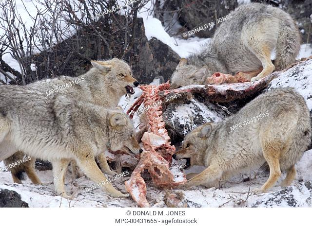 Coyote (Canis latrans) group feeding on American Elk (Cervus elaphus nelsoni) carcass, western Montana