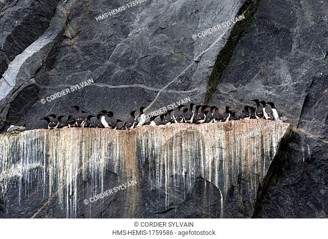 Russia, Chukotka autonomous district, Bering sea, Kolyuchin island, Marine birds colony nesting in cliffs, Black legged Kittiwake (Rissa tridactyla) and Thick...