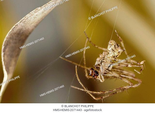 France, Indre, Mimetidae, Pirate Spider (Ero tuberculata) in its web, male, 2,5 mm
