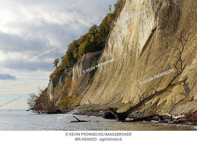 Fallen tree, chalk cliffs, Jasmund National Park, Baltic Coast at Sassnitz, Rügen, Mecklenburg-Western Pomerania