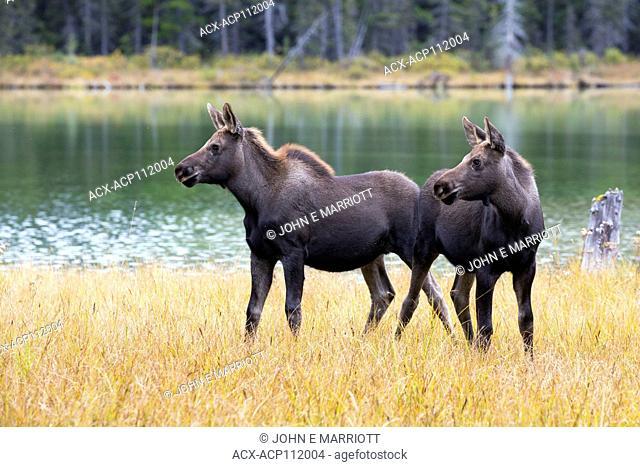 Moose calves, Alces alces, British Columbia, Canada