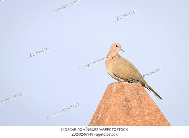 Laughing Dove (Spilopelia senegalensis) perched on a pole. Keoladeo National Park. Bharatpur. Rajasthan. India