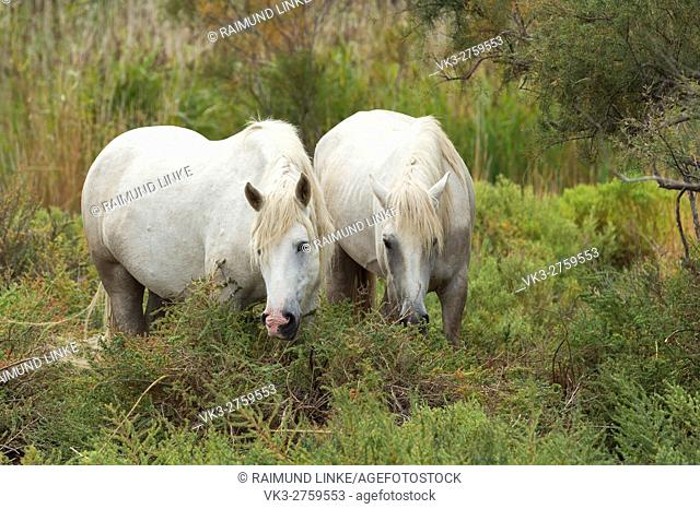 Camargue Horses, Parc naturel régional de Camargue, Languedoc Roussillon, France