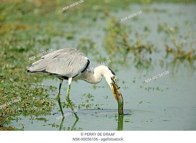Grey Heron (Ardea cinerea) eating an African catfish (Clarias gariepinus), South Africa, Mpumalanga, Kruger National Park