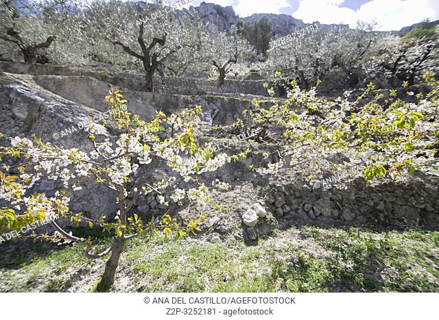 Cherry blossom in Gallinera valley Located in the northeast of the province of Alicante, in the comarca of Marina Alta Spain