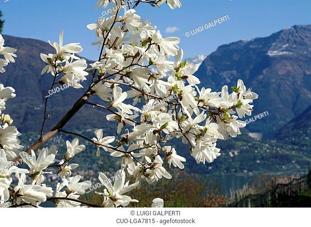 Magnolia Nakamura Suishoren