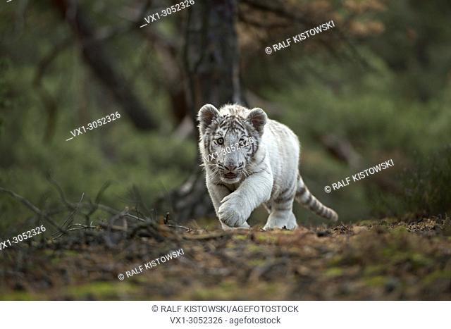 Royal Bengal Tiger ( Panthera tigris ), white morph, on its way along the edge of a forest, sneaking, walking, frontal shot