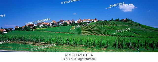 Vineyard, Zellenberg, Alsace, France