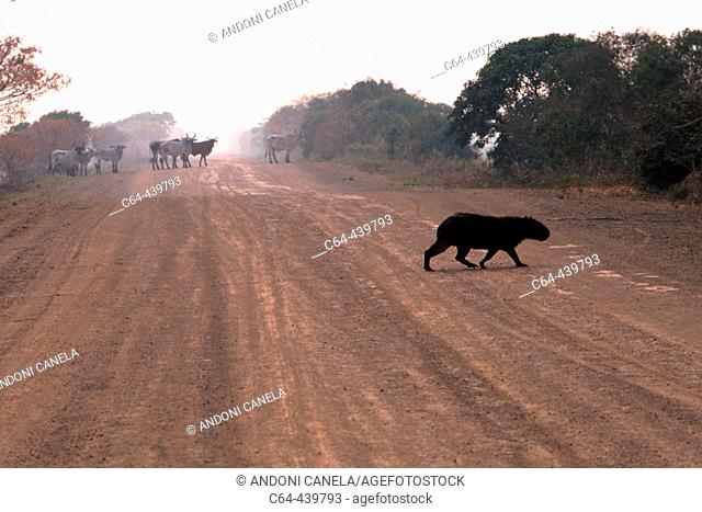 Capybara (Hydrochoerus hydrochaeris) crossing a road. Moxos plains. Amazonia. Bolivia