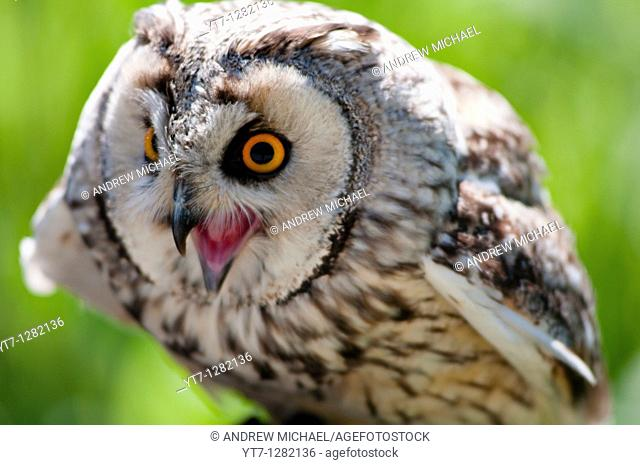 A lively Eagle owl