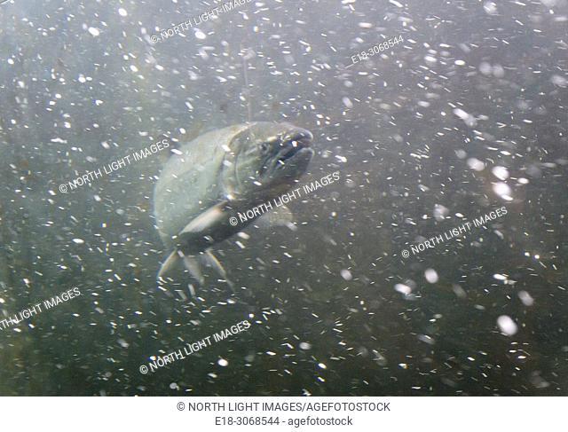 USA, WA, Seattle. Ballard Locks. Sockeye salmon swimming through the fish ladder