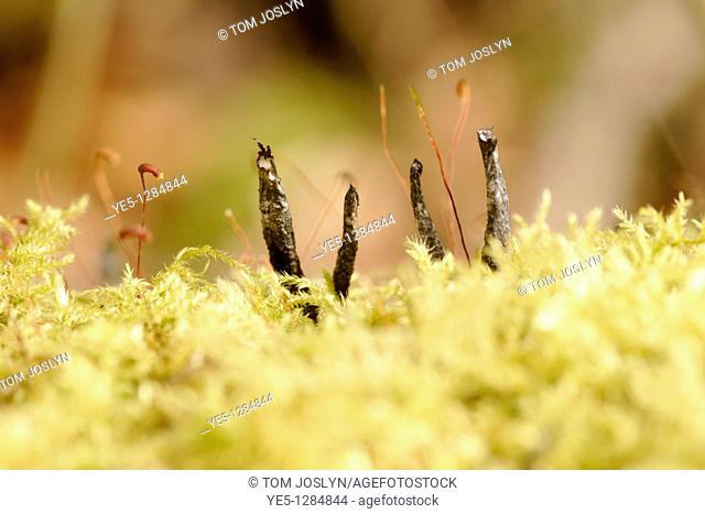 Candle snuff fungus Xylaria hypoxolon forming in moss, England, UK