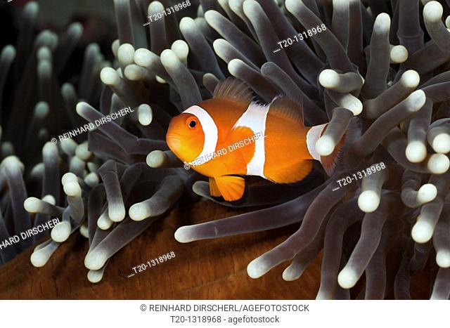 Clown Anemonefish, Amphiprion ocellaris, Alam Batu, Bali, Indonesia