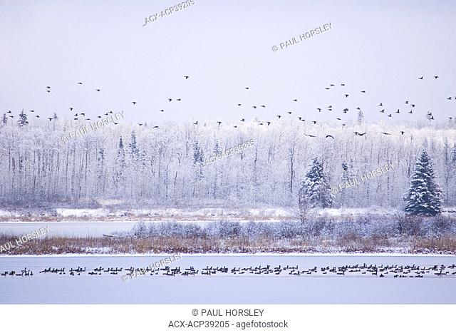 Waterfowl, Branta canadensis on partly frozen lake during migration, Elk Island National Park, Alberta, Canada