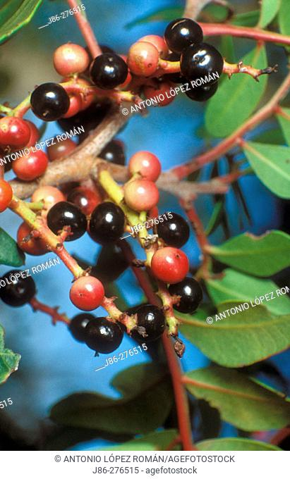Mastic tree (Pistacia lentiscus) fruits