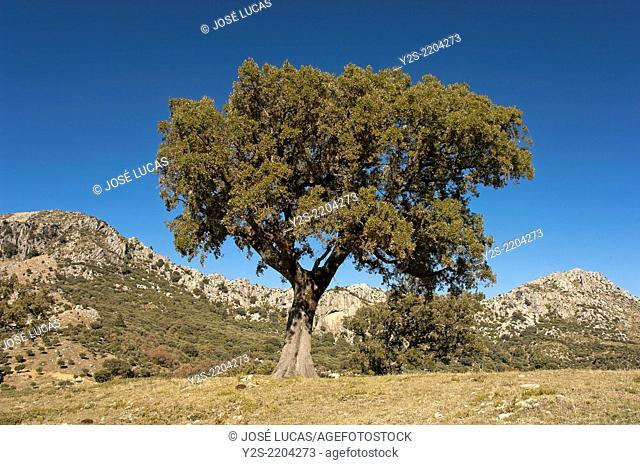 Landscape with Holm oak (Quercus ilex), Natural Park Sierra de Grazalema, Cadiz-province, Region of Andalusia, Spain, Europe