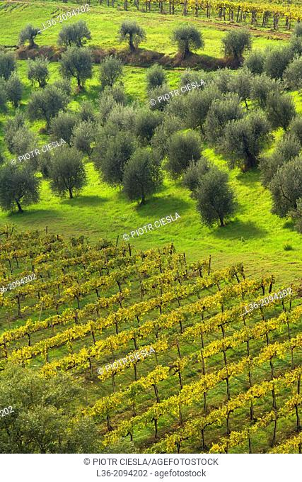 Olive grove and vineyard, Tuscany, Italy