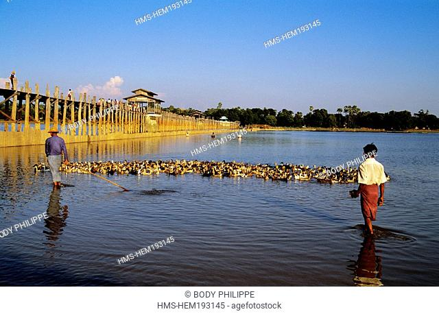 Myanmar Burma, Mandalay Division, Amarapura old city, a breeder and his flock of ducks on Lake U Bein