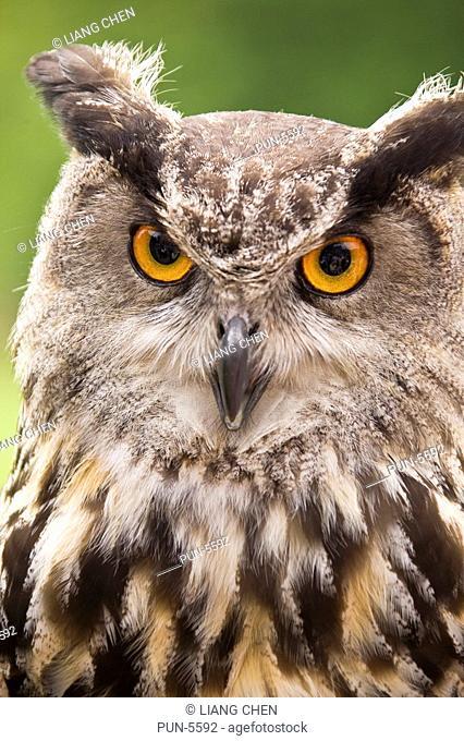 Close-up Ethiopian eagle owl in the World Owl Center in Muncaster Castle