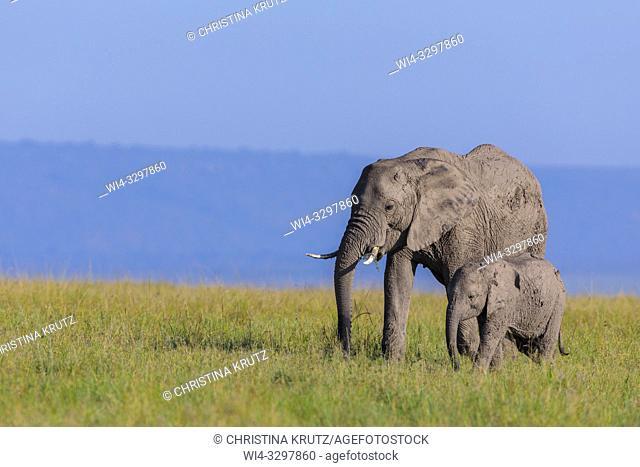 African elephants (Loxodonta africana) in savanna, Maasai Mara National Reserve, Kenya, Africa