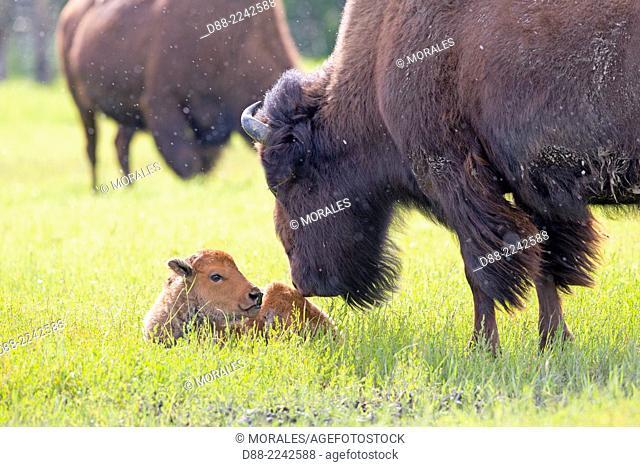 North America,United States,Alaska,Anchorage,Alaska Wildlife Conservation Center,Wood Bison (Bison bison athabascae),adult female and just born