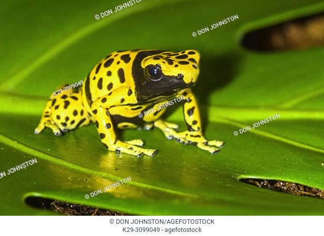 "Dendrobates leucomelas """"microspot"""", Understory Enterprises, Captive raised, Native to: Venezuala"