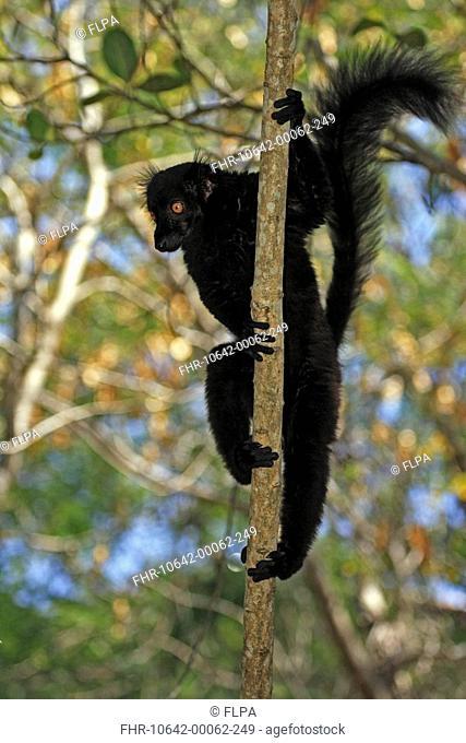 Black Lemur Lemur macaco adult male in tree, Nosy Komba, Madagascar