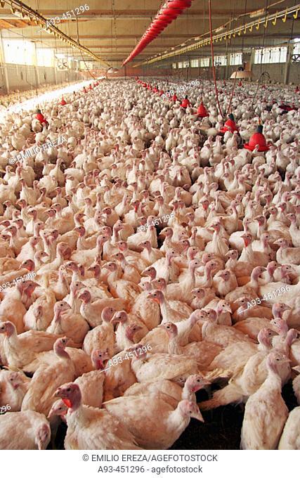 Turkey farm. Arbeca, Lleida province, Catalonia, Spain