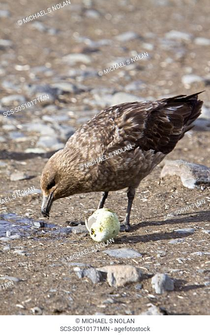 An adult Brown Skua Catharacta antarctica with a stolen penguin egg on South Georgia Island in the Southern Ocean This skua is often referred to as Antarctic...