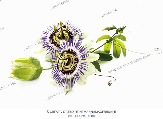 Passion flower (Passifloraceae), with tendrils and leaves
