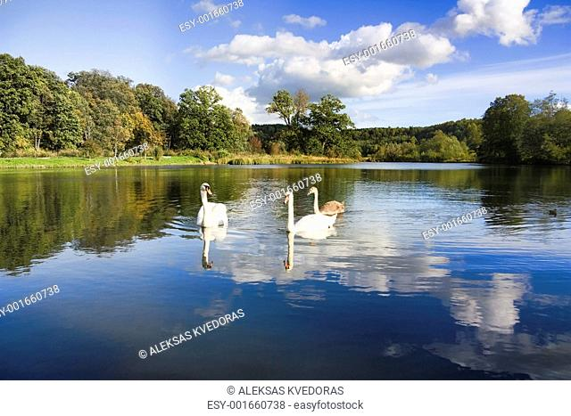 swans and young