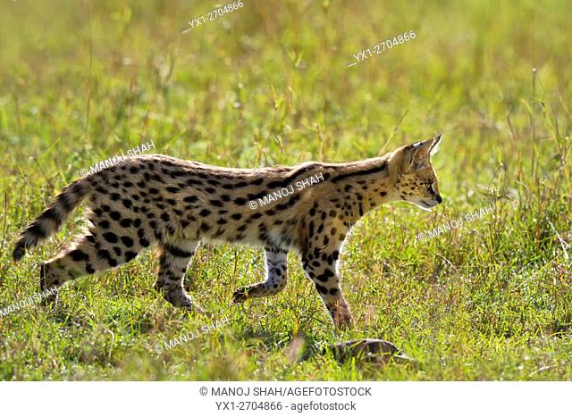 Wild Serval Cat in Masai Mara looking for prey