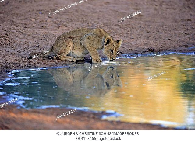 Lion (Panthera leo), cub, four months, at the water, drinking, Tswalu Game Reserve, Kalahari, North Cape, South Africa