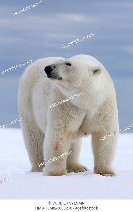 United States, Alaska, Arctic National Wildlife Refuge, Kaktovik, Polar Bear( Ursus maritimus ), adult female along a barrier island outside Kaktovik, Alaska