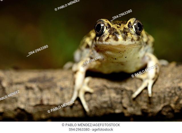 Western spadefoot toad (Pelobates cultripes) in Valdemanco area, Madrid, Spain