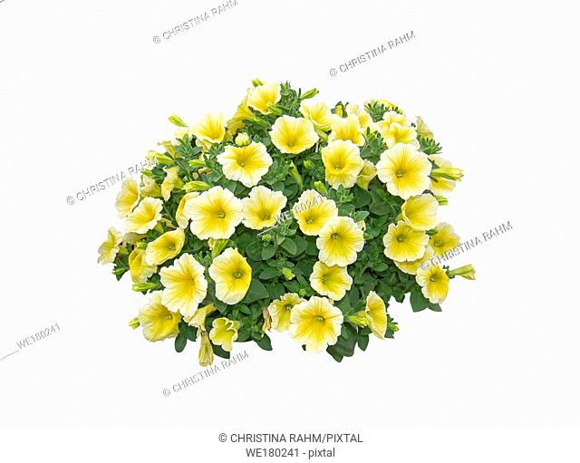 Yellow white petunia flowers composition in round shape isolated on white