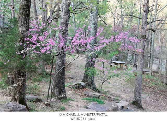 Flowering trees at Devil's Den State Park in Arkansas