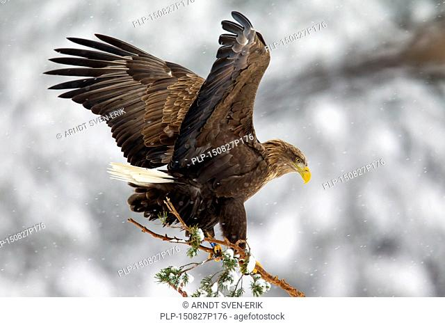 White-tailed Eagle / Sea Eagle / Erne (Haliaeetus albicilla) landing in spruce tree in the snow in winter