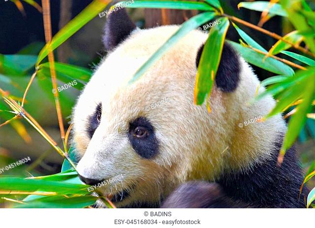 Panda Bear eat a Tree Branch, China Wildlife. Bifengxia nature reserve, Sichuan Province