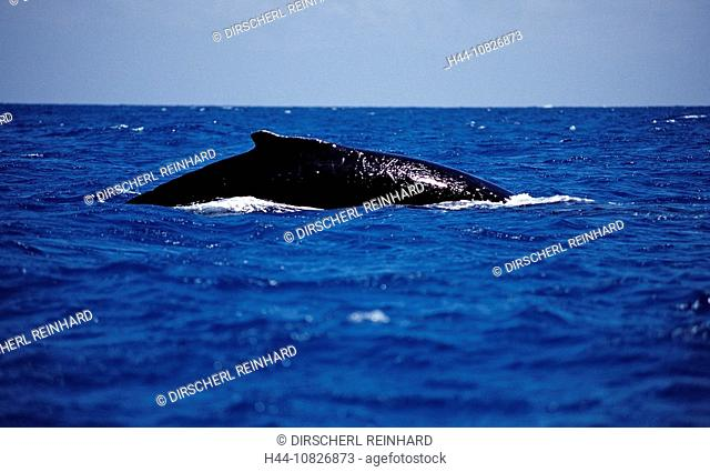 Humpback whale, Dominican Republic, Caribbean, Silverbanks, Caribbean Sea, animal, animals, balaenopteridae, baleen, c