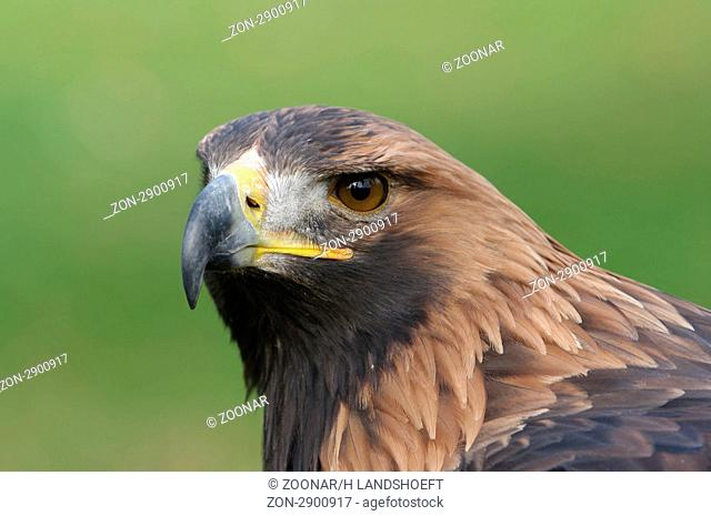 Steinadler, Golden Eagle, Aquila chrysaetos